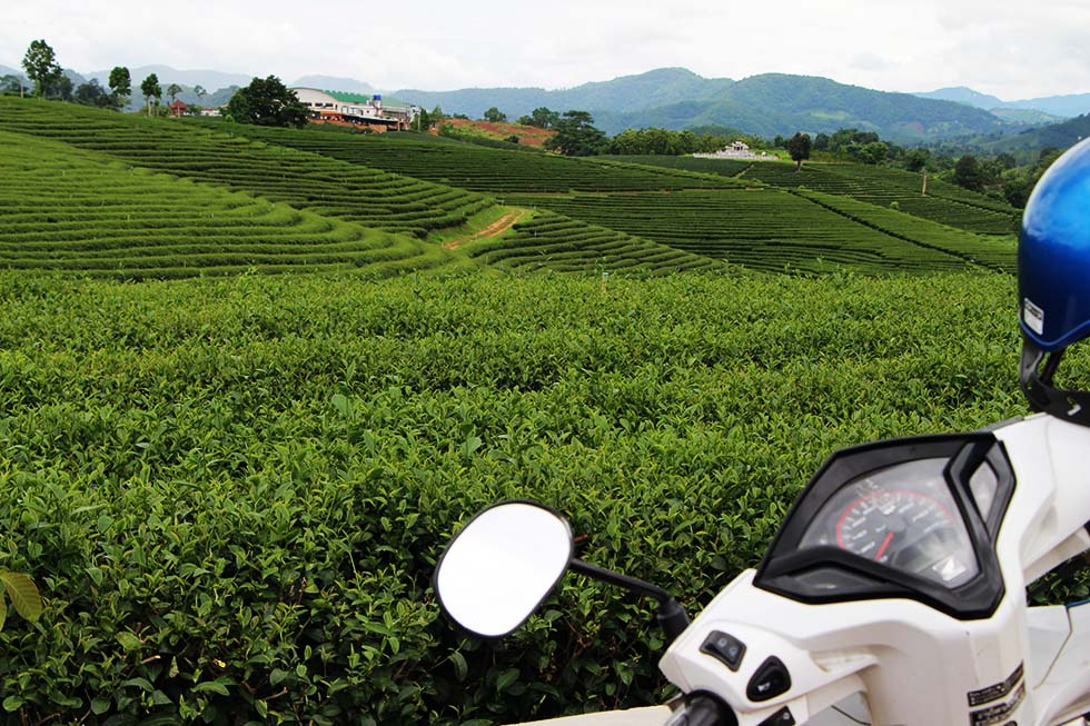 Choui Fong Tea Plantation in Chiang Rai
