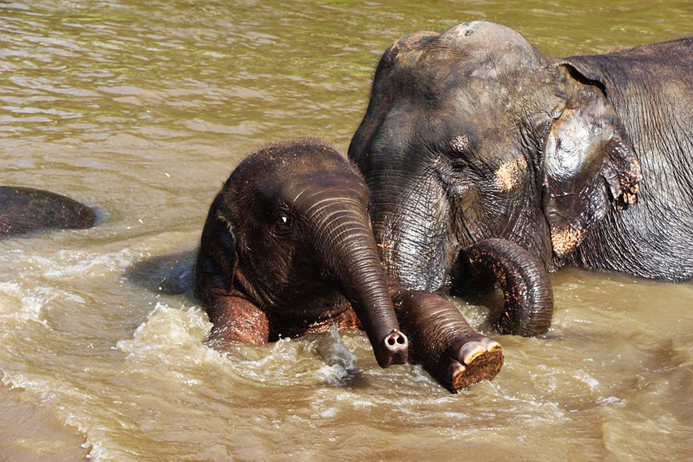 A mother and baby elephant swimming at Elephant Nature Park