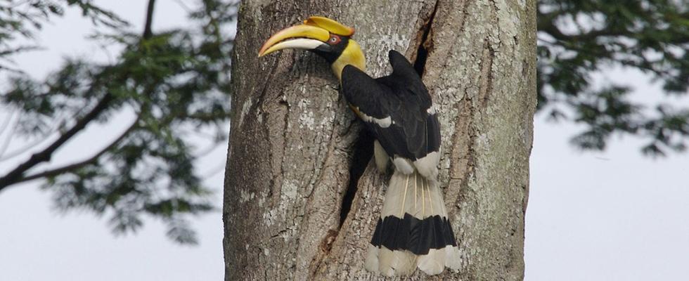 A great hornbill