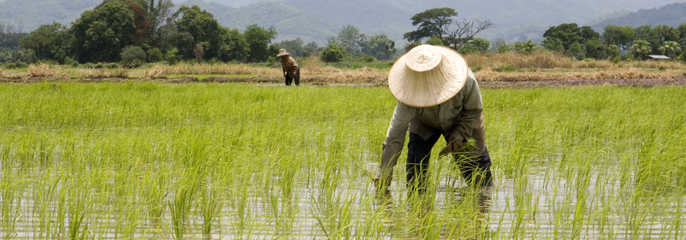 Planting rice in northern Thailand