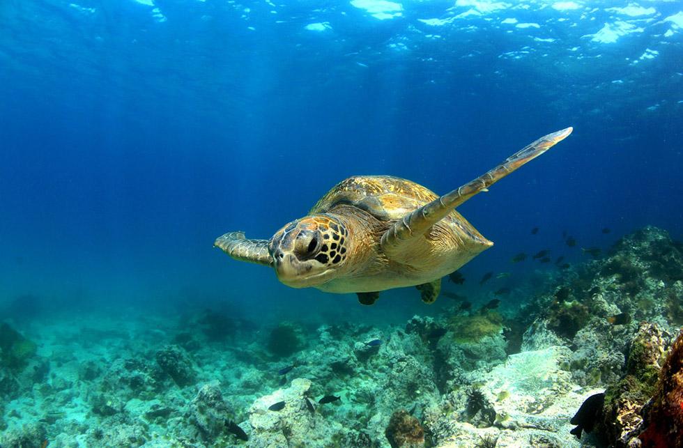 Koh Tao Turtles