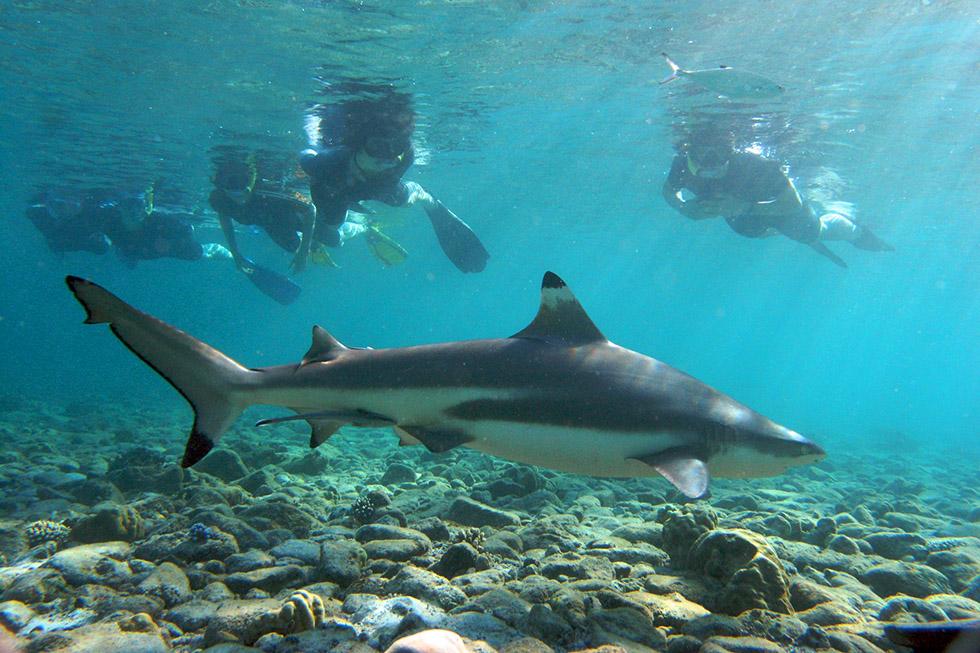 Koh Tao Blacktip Reefshark