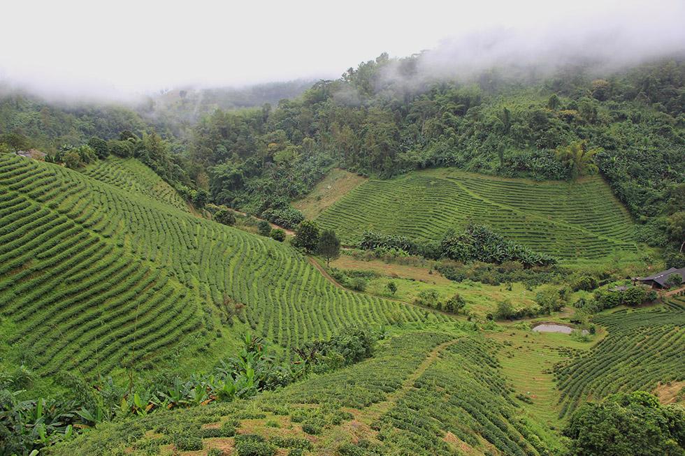 Tea Plantations of Mae Salong