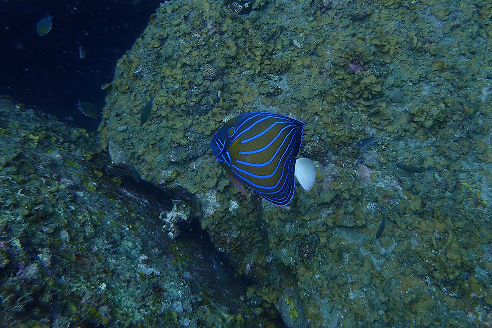 Angelfish - Koh Tao diving