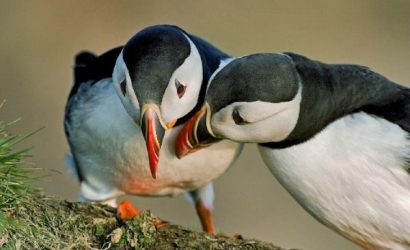 1-Hour Puffin Express Boat Tour from Reykjavik