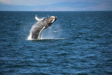 3-Hour Whale Watching Cruise from Reykjavik