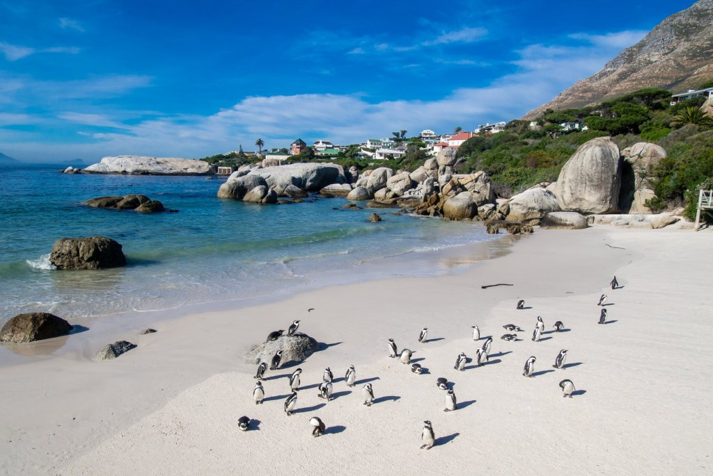 African Penguins at Boulders Beach in Simons Town South Africa