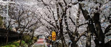 Hwagae Cherry Blossom Festival in Hadong, South Korea