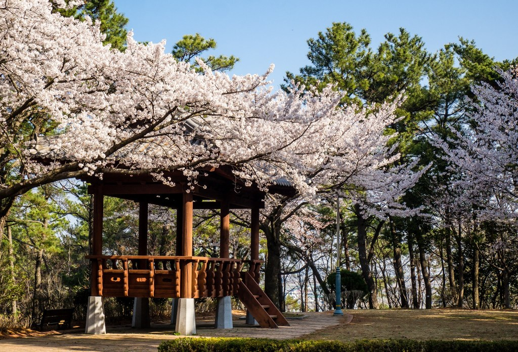 Stunning views of Cherry Blossoms in Mochung Park, Sacheon