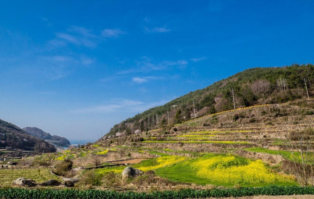 Beautiful terraced fields of Canola flowers at Dumo Village