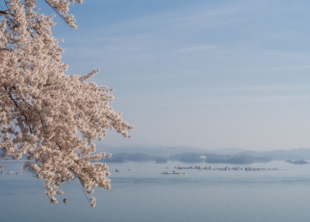 Cherry Blossoms right by the road on Namhae Island