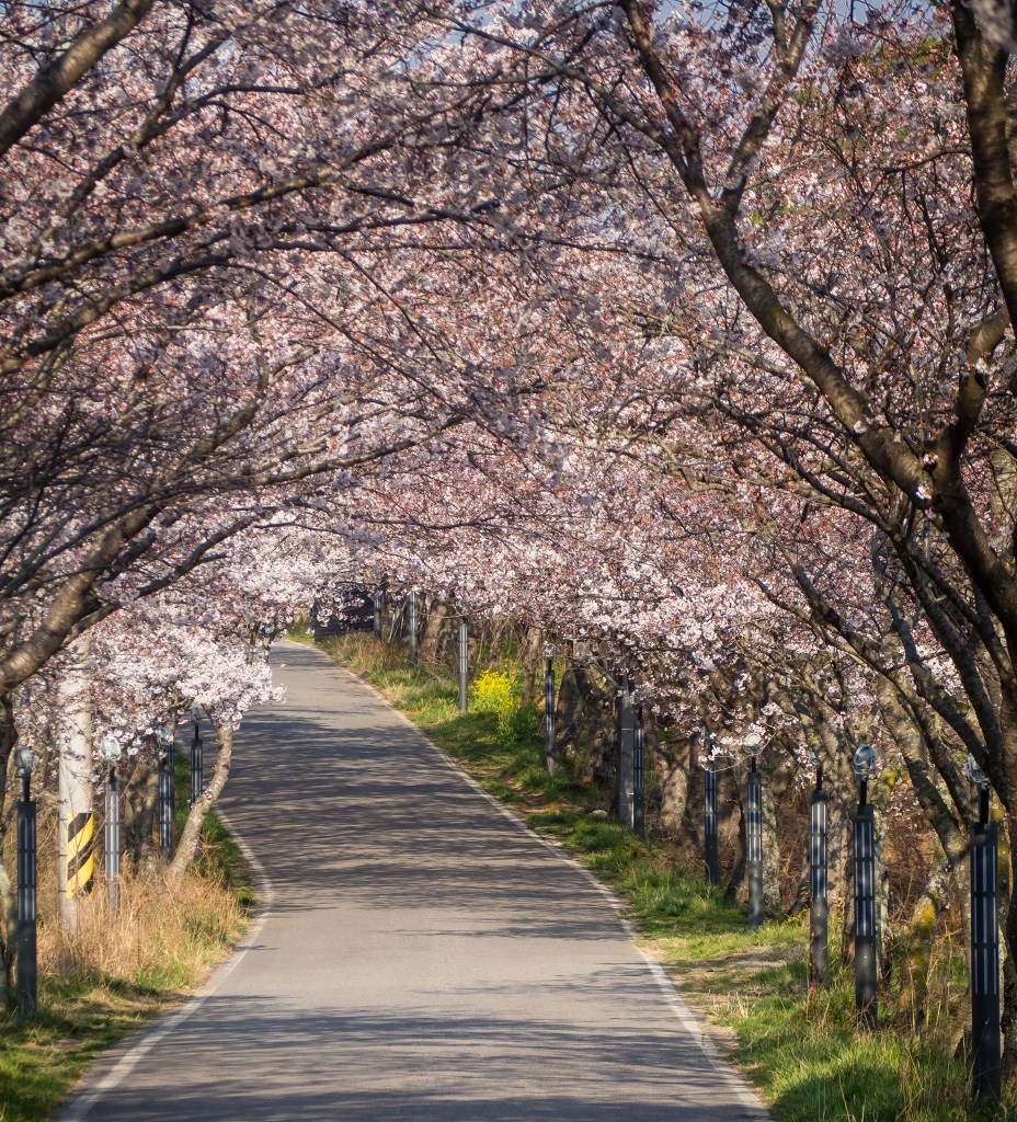 Cherry blossom tunnel near Seonjin Park