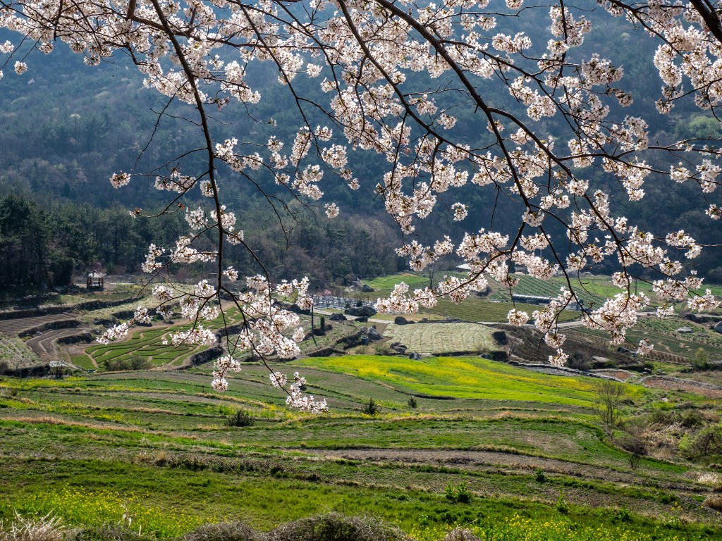 Cherry blossoms at Dumo Village on Namhae Island