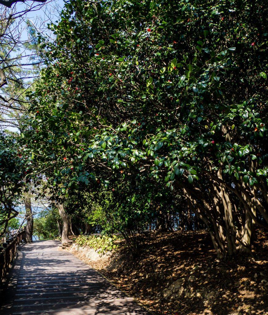 Camellia lined path on Odongdo in Yeosu