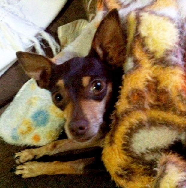 ajude a flind pinscher cachorro doação vakinha online blog got sin 01