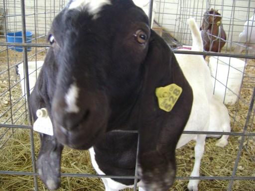 floppy-eared goat