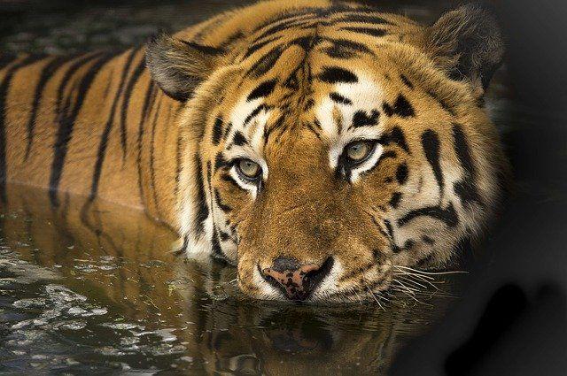 Wildlife tiger close up