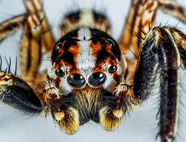 jumping spider macro
