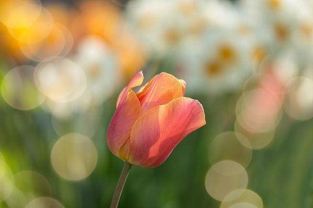 tulip close up picture
