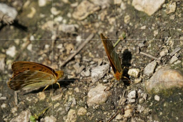 Rule of thirds butterflies image