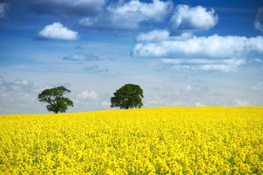 scottish-rapeseed