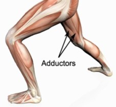 Your adductors are your inner thighs, located medially in the upper leg in the standard anatomical positionl.