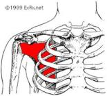 This is the subscapularis. It is very helpful in controlling movements and helping your arms come from your back rather than your shoulders.