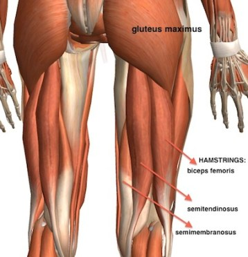 hamstring muscle diagram