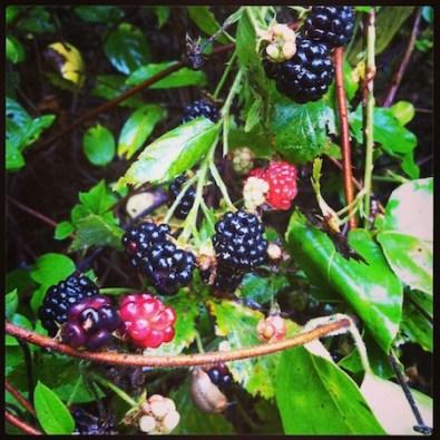 Blackberry canes