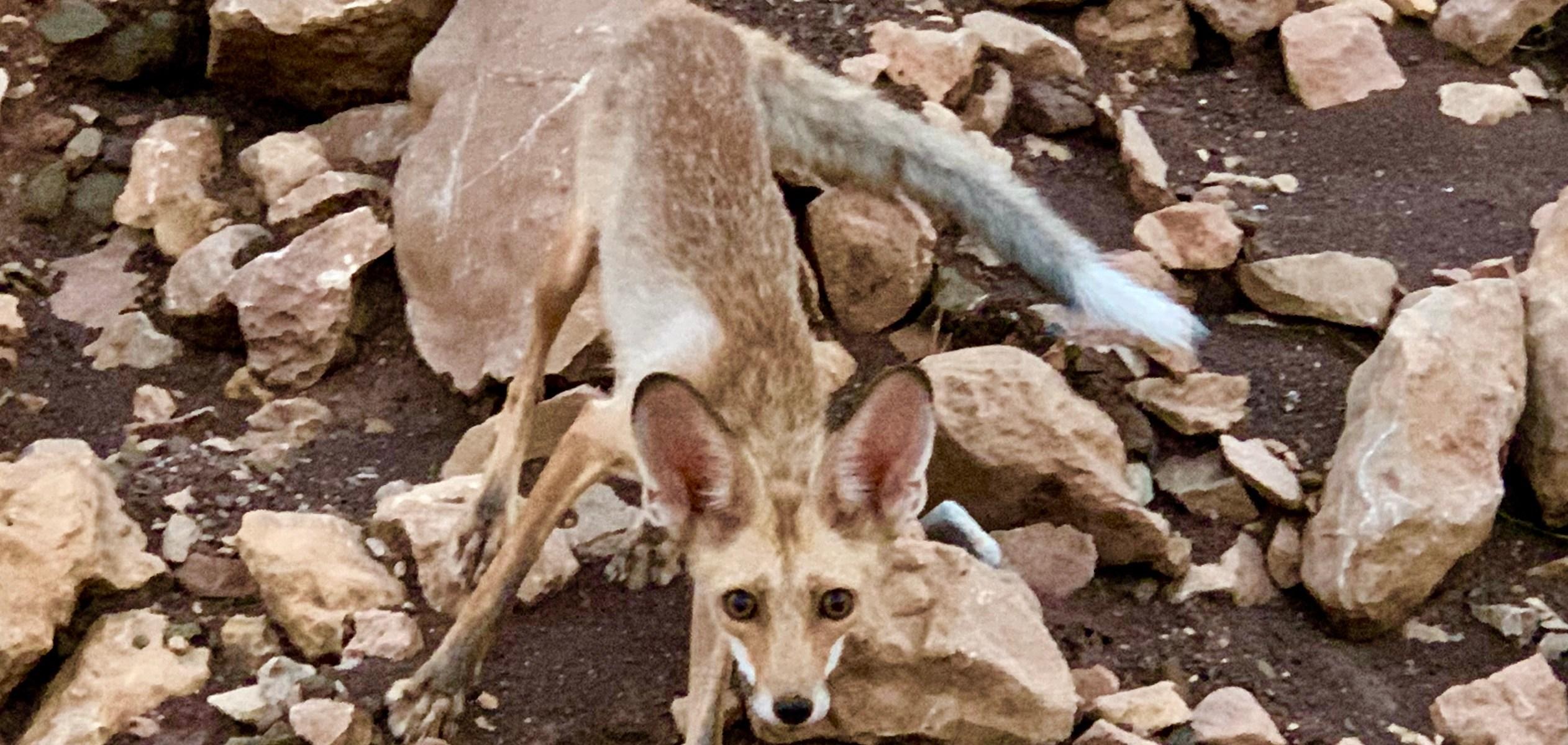 Arabian Fox