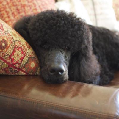Meet Baci the Poodle