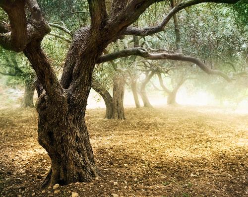olive wood tree