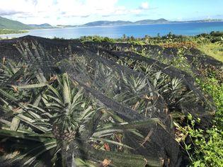 パイナップルの収穫を通して循環型農業と地元産業を体験  石垣市立崎枝小中学校生を対象に7月6日(金)体験授業を実施