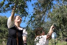 オリーブの実の収穫真っ盛り!牛窓オリーブ園にて季節限定収穫体験&浅漬作り講習会開催