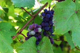 山口県初、ワイン特区を活用して酒造免許を取得した 「周防大島ワイナリー」が本格始動 初出荷は12月を予定