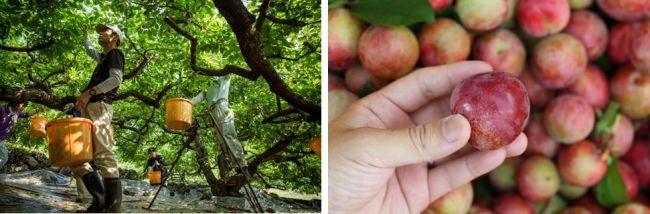失われゆく伝統を守りたい。初夏らしい爽やかな酸味とやさしい甘みを味わえる小豆島特産のすもも『幸太郎もも』の収穫・販売開始