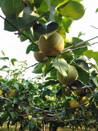 【産地直送】甘味と水分がたっぷり!千葉県白井の梨のフレッシュ生搾りジュース< 9月 1日(日)~ 10月 31日(木)まで>