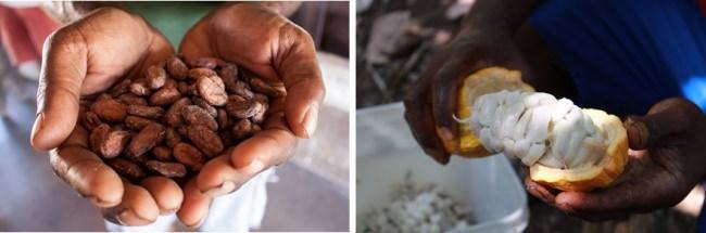 よく知られている茶色のカカオ豆と、あまり知られていないカカオの白い果肉