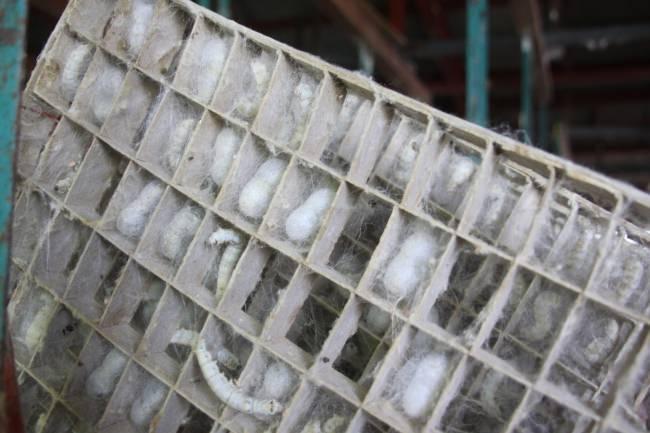 蚕が繭を作る光景。山梨県アシザワ養蚕にて。