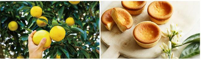 伊豆特産ニューサマーオレンジと、ニューサマーオレンジと国産蜂蜜を使ったお菓子「みかんの花咲く丘 ベイクドチーズ」