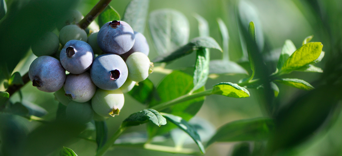 worldwide-year-round-blueberries