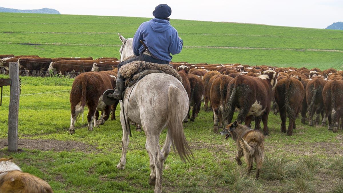 Gauchos und Rinder