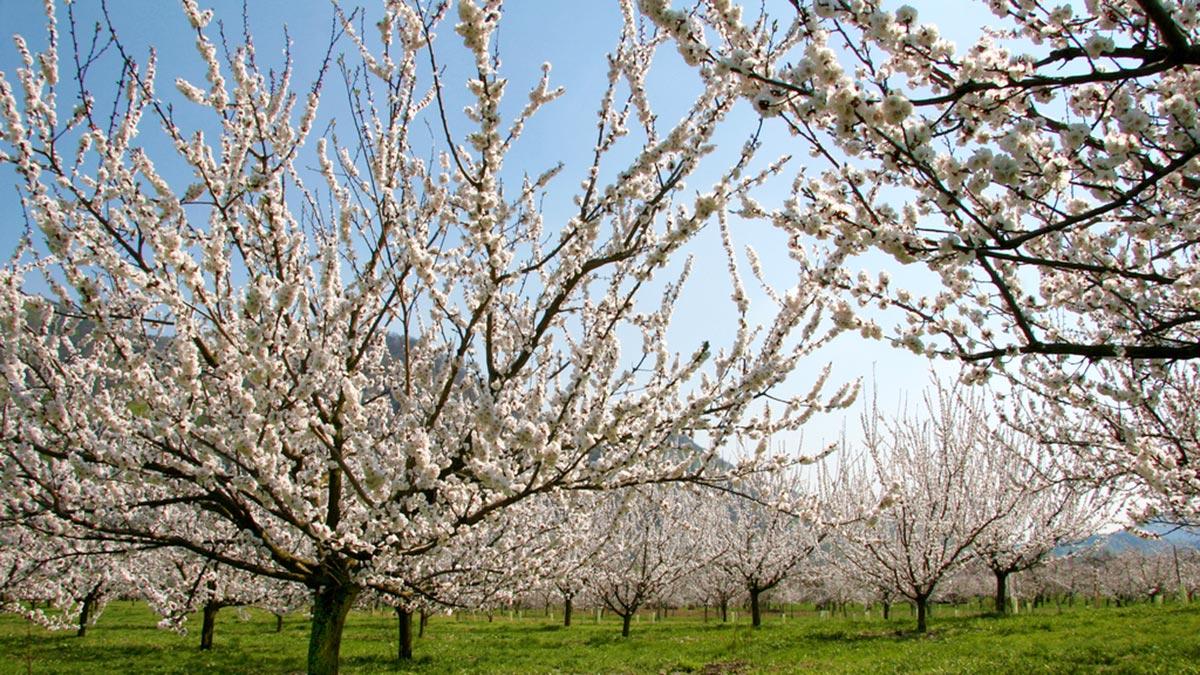 Marillen- und Mandelblüte