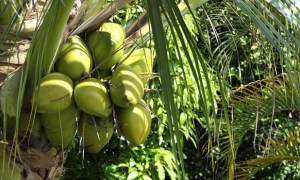 Coconut Development Scheme in Maharashtra