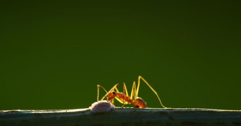 Tudi mravlje so hitre: Najhitrejša preteče 85 cm na sekundo