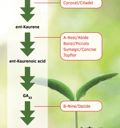 a highly simplified diagram of the biosynthesis of gibberellins ga and steps that are inhibited by common plant growth retardants  [ 908 x 1262 Pixel ]