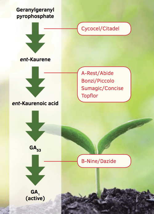 small resolution of a highly simplified diagram of the biosynthesis of gibberellins ga and steps that are inhibited by common plant growth retardants