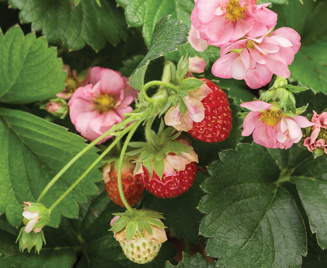 Strawberry 'Berried Treasure Pink' - Greenhouse Product News