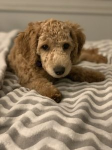 F1b Miniature Goldendoodle