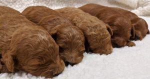F1b Miniature Goldendoodles